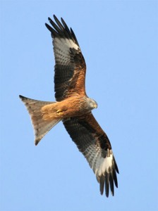 Red Kites over Rutland
