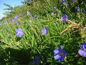 Rutland wild flowers